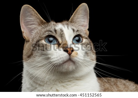 Closeup face of White Cat, Red nose, Looks with Hope Huge Blue Eyes Isolated Black Background, Front view