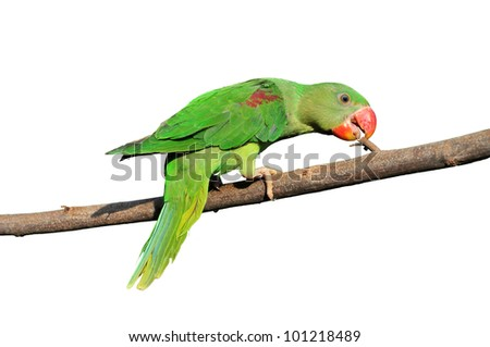 Closeup Female Alexandrine Parakeet on white backgroud