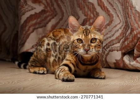 Closeup female Bengal Cat on a Floor - stock photo