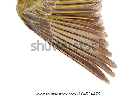Closeup female gold finch wing - stock photo