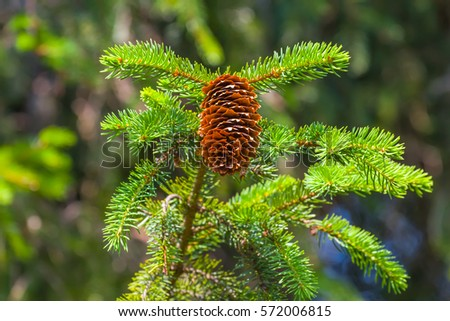 closeup fir tree branch with cone