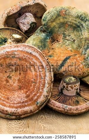 Closeup fom Saffron milk cap  (Lactarius deliciosus) - stock photo