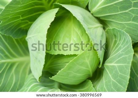 Closeup fresh cabbage in the vegetable garden. - stock photo