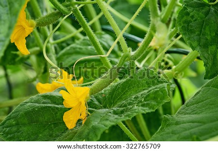 Closeup fresh cucumber growing on vine in the garden. - stock photo