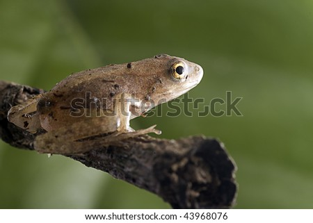 Closeup Frog with green background - stock photo