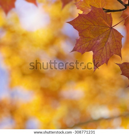Closeup from a orange autumn maple leaf in afternoon sun. With copy space on a blurry background