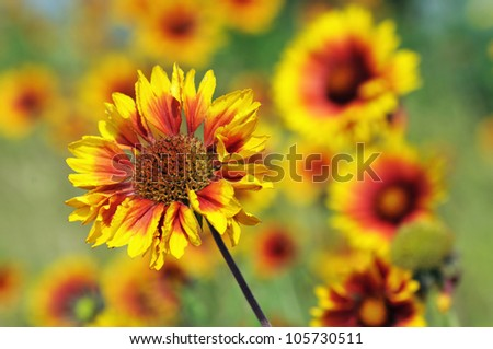 Closeup from cockade flowers (Gaillardia)