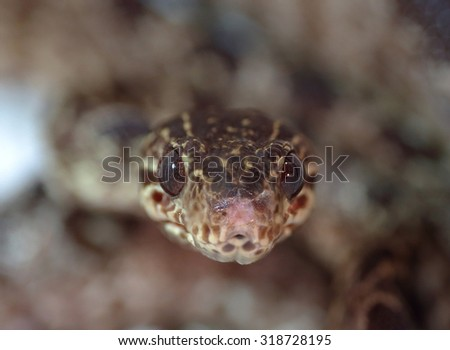 Closeup frontal view of a snake pointing at camera with low depth of field - stock photo