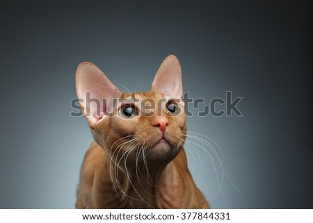 Closeup Funny Ginger Sphynx Cat Curiously Looking up on dark background - stock photo
