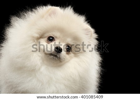 Closeup Furry Cute White Pomeranian Spitz Dog Funny Looking outside isolated on Black Background in Front view - stock photo
