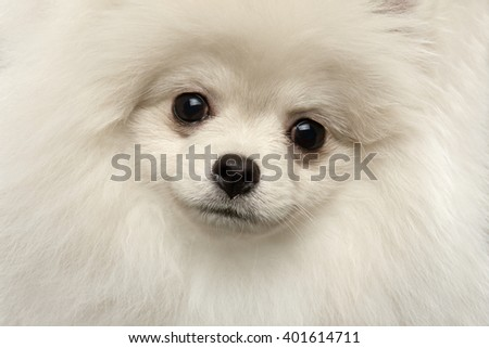 Closeup Furry Happiness White Pomeranian Spitz Dog Curious Smiling in Camera isolated in Front view - stock photo