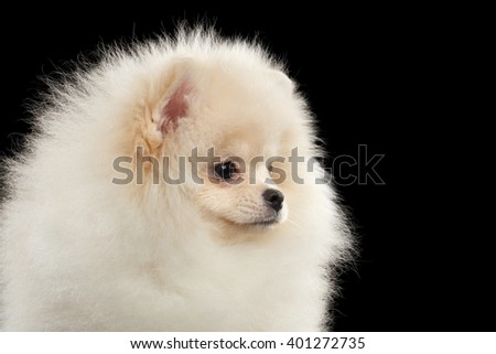 Closeup Furry White Pomeranian Spitz Dog Funny Looking outside isolated on Black Background in Profile view - stock photo