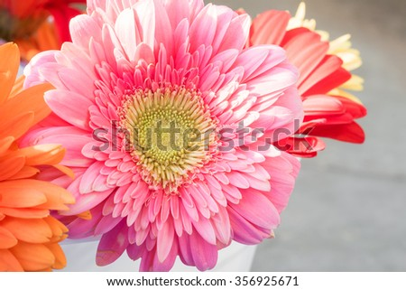 closeup gerbera flower