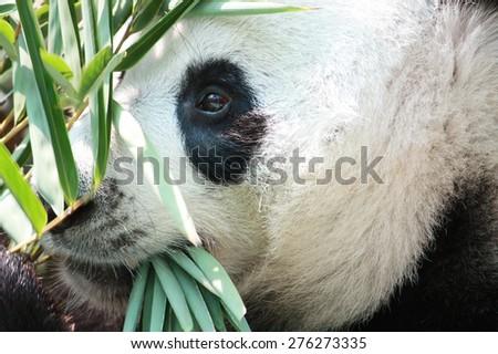 closeup giant panda bear eating bamboo - stock photo
