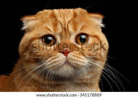 Closeup Ginger Scottish Fold Cat Looking in camera isolated on Black Background  - stock photo