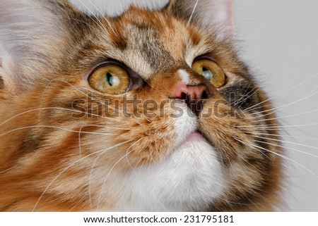 Closeup ginger tortie Maine Coon cat looking up on white background