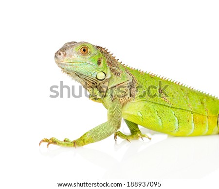 Closeup green agama in profile. isolated on white background - stock photo