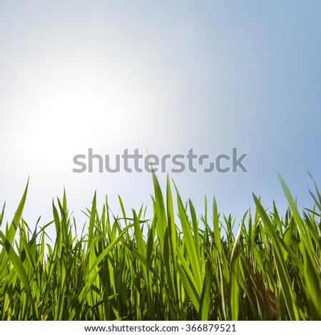 closeup green grassin a rays of sun - stock photo