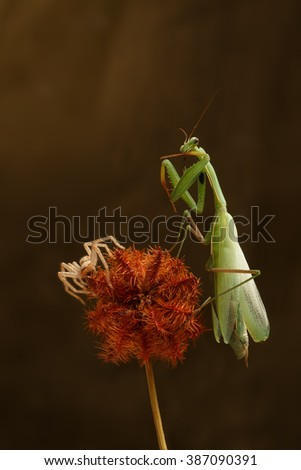 closeup green mantis and spider-hunter  on a prickly dry plant - stock photo