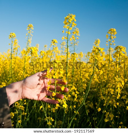 closeup hand in Rapeseed field - stock photo