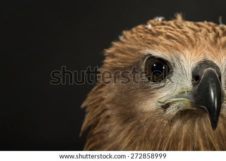 Closeup hawk isolate - stock photo