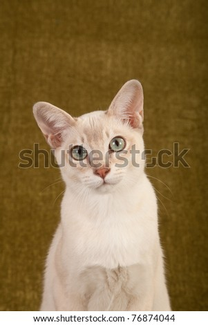 Closeup head image of Tonkinese cat on green background - stock photo