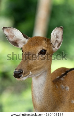 Closeup head of a whitetail deer