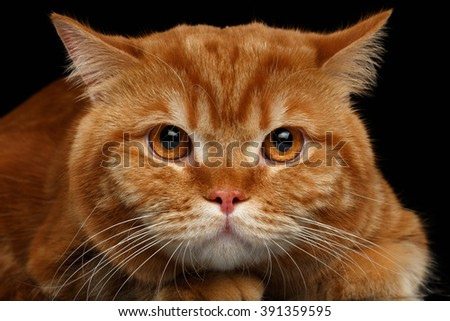 Closeup head of Angry Red British Cat isolated on Black Background  - stock photo