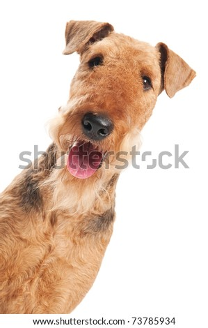 closeup head of Black brown Airedale Terrier dog isolated on white - stock photo