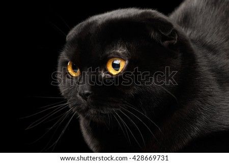 Closeup Head of Black Scottish Fold Cat with Yellow eyes Isolated on Black Background - stock photo