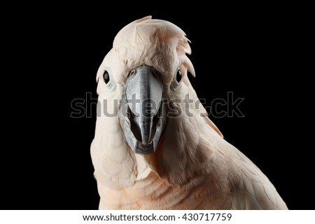 Closeup Head of Funny Moluccan Cockatoo, Pink salmon-crested Parrot surprised Looks Isolated on Black Background - stock photo