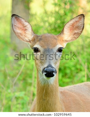 Closeup head shot of a whitetail deer doe.