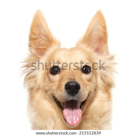 closeup head  terrier dog isolated on white - stock photo