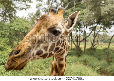 Closeup headshot of an adult African Giraffe from the neck up - stock photo