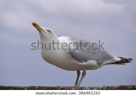 Closeup herring gull (Larus argentatus) perched on a wall and looking up in Brittany in France - stock photo