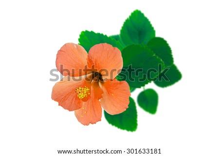 closeup hibiscus flower, isolated. - stock photo