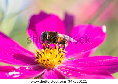closeup honey bee and cosmos flower