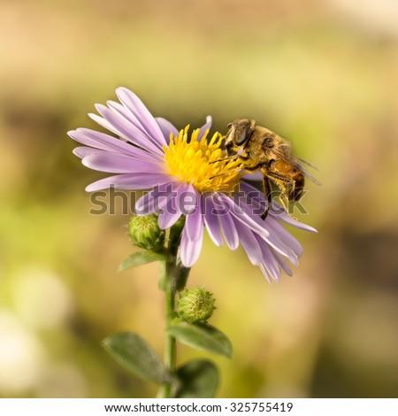 closeup honey bee on blue New York aster ( (botanical name: Aster novi-belgii or Symphyotrichum novi-belgii) - stock photo