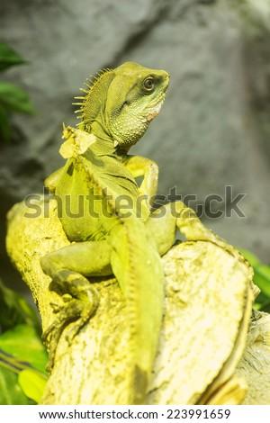Closeup  Iguana - stock photo