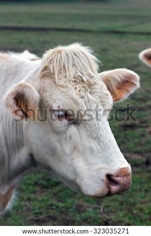 Closeup image Brahman heifer, beige cow with identification ear tags - stock photo