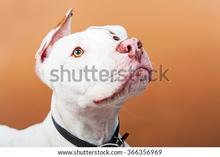 Closeup image of a beautiful mixed large breed dog looking up with alert expression.  - stock photo