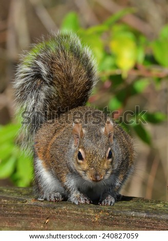 Closeup Image Of A Eastern Grey Squirrel (Sciurus carolinensis) On A Wooden Railing. - stock photo