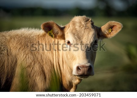 Closeup image of a light brown colored, beige cow with identification ear tags looking into camera.