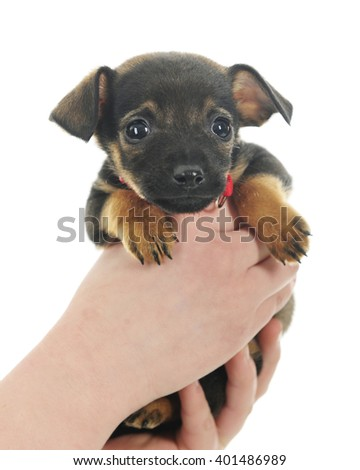 Closeup image of a tiny puppy being held by two young hands.  On a white background. - stock photo