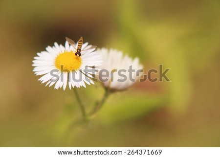Closeup image of bee on the white daisy flower. - stock photo