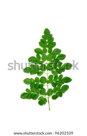 closeup image of fresh branch of  moringa oleifera leaves. - stock photo