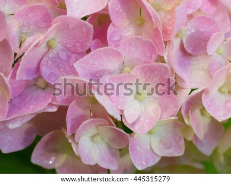 closeup image of hydrangea flower - stock photo