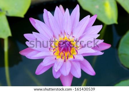 Closeup image of Lotus Plant on Water - stock photo