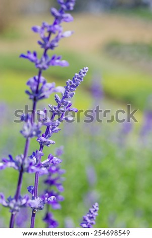 Closeup image of violet lavender flowers in the field