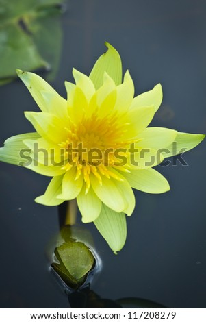 Closeup image of yellow lilies on green leaves - stock photo